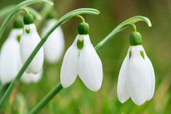 Spring snowdrop flowers blooming in sunny day Royalty Free Stock Photos