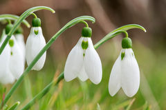 Spring snowdrop flowers blooming in sunny day Royalty Free Stock Images