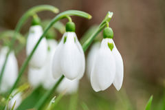 Spring snowdrop flowers blooming in sunny day Stock Photography