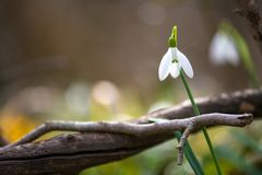 Spring snowdrop flowers blooming in sunny day Royalty Free Stock Photo