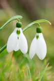 Spring snowdrop flowers blooming in sunny day - vertical orientation Stock Photography