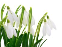Snowdrops Galanthus nivalis on white background Stock Images