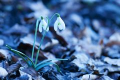 Spring snowdrop flowers. Snowdrop flowers, close up,blue background Stock Photography