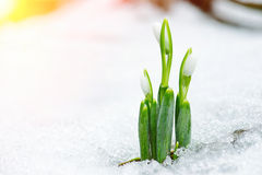 Spring snowdrop flowers coming out from snow with sun rays Stock Image