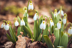 Spring snowdrop flowers in the forest. Showdrop flowers in the forest. Spring theme Stock Photography
