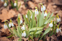 Spring snowdrop flowers in the forest. Showdrop flowers in the forest. Spring theme Royalty Free Stock Photography