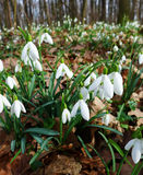 Spring snowdrop flowers Galanthus nivalis blooming in the forest near Dobrin, Czech Republic Royalty Free Stock Photo