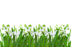 Spring snowdrop  . Royalty Free Stock Photo