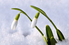 Spring snowdrop flowers Stock Photos