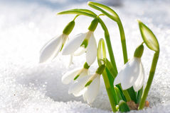 Spring snowdrop flowers Stock Image