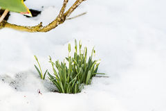 Spring snowdrop flowers with snow Royalty Free Stock Photos