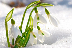 Spring snowdrop flowers Royalty Free Stock Photos