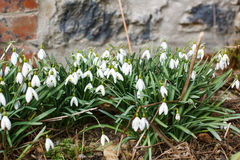 Spring snowdrop flowers on sunny spring day. Stock Image