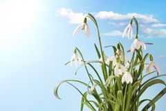 First Spring Snowdrop Flowers with Water Drops on  Blue  Sky Royalty Free Stock Photo