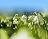 Spring snowdrop flowers Royalty Free Stock Photo