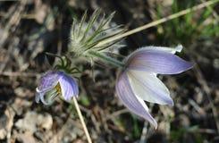 Spring snowdrop plant. On the ground stock photos