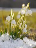 Spring snowflake snowdrop. Spring snowdrop snowflake flowers blooms between snow in forest. white seasonal beauty royalty free stock photography