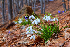 Spring snowdrops Royalty Free Stock Image