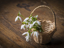 Spring snowdrops Stock Images