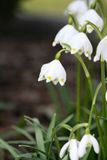 Spring snowdrops. Closeup of spring white snowdrops with soft narrow focus stock photos