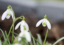 Spring snowdrops. Closeup of spring white snowdrops with soft narrow focus royalty free stock image