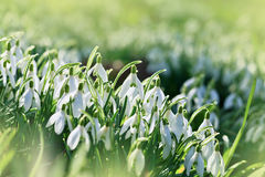 Spring Snowdrops Royalty Free Stock Photos