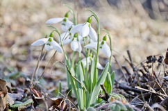 Spring snowdrops Stock Image
