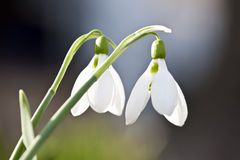 Spring Snowdrops Stock Photography