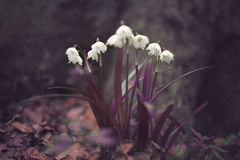 Spring snowdrops in early march in the forest. Beautiful white tender spring flowers snowdrops which grow in the forests in Europe and North America near little Royalty Free Stock Image