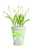 Spring snowdrops in a flowerpot isolated on white. Stock Photography