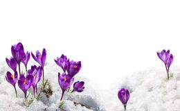 Free Spring Snowdrops Flowers Violet Crocuses  Crocus Heuffelianus  In Snow On A White Background With Space For Text Royalty Free Stock Images - 194154659
