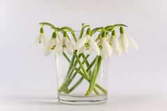 Spring snowdrops Galanthus nivalis on white background. Spring snowdrop flowers bouquet in vase isolated on white background. There are air bubbles in the vase Stock Photo