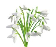 Spring snowdrops isolated on white Stock Photography