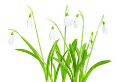 Spring snowdrops isolated on white background Stock Photography