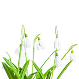 Spring snowdrops isolated on white background Stock Photos
