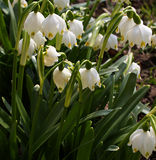 Spring snowdrops, snow-white flowers Royalty Free Stock Photo