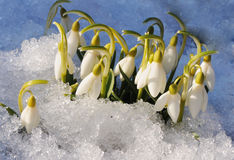 Spring snowdrops in a sunbeam. The first spring flowers snowdrops in a sunbeam royalty free stock photography