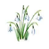 Spring snowdrops. Watercolor illustration. Stock Photos