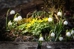 Spring snowfla and winter aconite Royalty Free Stock Photography