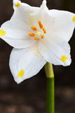 Spring Snowflake, Closeup Stock Image