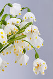 Spring snowflake detail Royalty Free Stock Photo