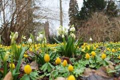 Spring snowflake and Eranthis hyemalis flowers Stock Photos
