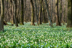 Spring snowflake field. In the middle of an ancient oak forest Royalty Free Stock Photo