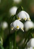 Spring snowflake flower. Little white spring snowflake flower Royalty Free Stock Photo