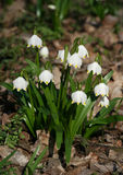 Spring snowflake flower. Little white spring snowflake flower Stock Photography