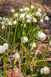 Spring snowflake flowers Stock Images