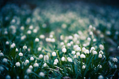 Spring snowflake flowers blossom, blooming in natural environment of forest, woods. Spring background with strong bokeh Royalty Free Stock Photo