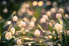 Spring snowflake flowers blossom, blooming in natural environment of forest, woods. Spring background with strong bokeh. Shallow depth of field and closeup Royalty Free Stock Photography