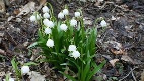 Spring snowflake flowers in the wind. Spring snowflake flowers in the forest in the dry leaves stock video