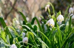 Spring snowflake flowers Royalty Free Stock Photos